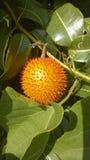 Gac owoc kultywuje przez cały S (Momordica cochinchinensis) Obrazy Royalty Free