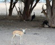 Gacela árabe curiosa, con los pavos reales y los ciervos en barbecho Fotografía de archivo