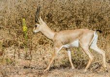 Gacela de la montaña que camina en el campo Foto de archivo