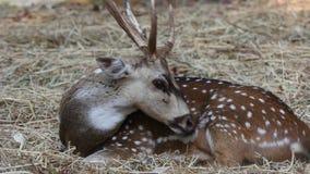 gacela de los ciervos 4K en la naturaleza almacen de metraje de vídeo