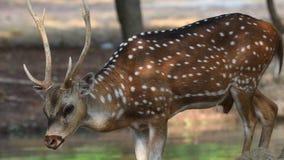 gacela de los ciervos 4K en la naturaleza metrajes