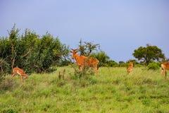 Gacela de Thompson s en la reserva nacional Kenia de Mara del masai fotos de archivo libres de regalías