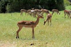 Gacela del impala Fotografía de archivo libre de regalías