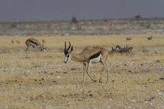 Gacela que camina en el parque nacional de Etosha, Namibia Imágenes de archivo libres de regalías