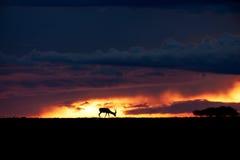 Gacela solitaria en la puesta del sol Fotografía de archivo