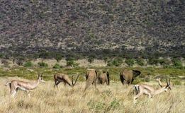 Gacelas y elefantes que dan un paseo a través de los prados de Samburu imagen de archivo libre de regalías