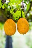 Gacfruit bij gebied Royalty-vrije Stock Foto's