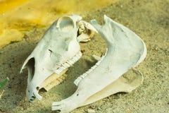 Gada ` s czaszka w piasku Obrazy Royalty Free