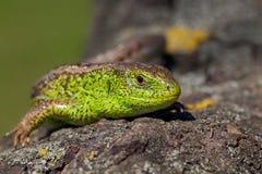 Gada strzału zakończenie Żwawi zielonej jaszczurki Lacerta viridis, Lacerta agilis zbliżenie, wygrzewa się na drzewie pod słońcem Zdjęcia Royalty Free