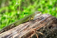 Gada strzału zakończenie Zielona jaszczurka, wygrzewa się na drzewie pod słońcem Męska jaszczurka w kotelnia sezonie na drzewie,  Obrazy Royalty Free