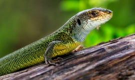 Gada strzału zakończenie Zielona jaszczurka, wygrzewa się na drzewie pod słońcem Męska jaszczurka w kotelnia sezonie na drzewie,  Obrazy Stock