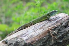 Gada strzału zakończenie Zielona jaszczurka, wygrzewa się na drzewie pod słońcem Męska jaszczurka w kotelnia sezonie na drzewie,  Fotografia Stock