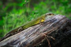 Gada strzału zakończenie Zielona jaszczurka, wygrzewa się na drzewie pod słońcem Męska jaszczurka w kotelnia sezonie na drzewie,  Zdjęcie Stock