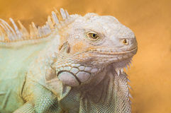 Gada zwierzę, Jaskrawa Pomarańczowa Męska iguana Zdjęcie Royalty Free