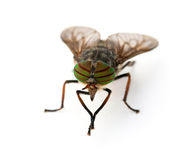 Gadfly Royalty Free Stock Photography