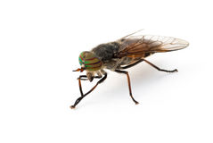 Gadfly Stock Images