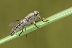 gadfly Immagini Stock