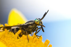 The gadfly with big, bright eyes on the dandelion Royalty Free Stock Image