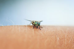 Gadfly with big eyes sitting on his hand and drinks the blood Stock Photography