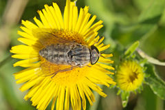 Gadfly on dandelion Royalty Free Stock Images