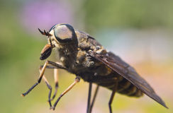 Gadfly - dangerous insect Royalty Free Stock Images