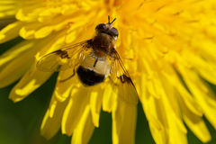 Gadfly on the flower. Stock Photos