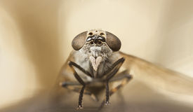 Gadfly or horse-fly portrait Stock Images
