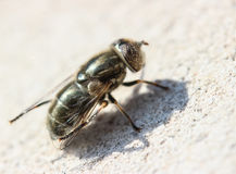 Gadfly Royalty Free Stock Photos