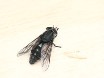 The gadfly sitting on a board. Royalty Free Stock Photo