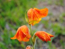 Gladiolus yellow red and orange stock photography