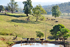Gado australiano da exploração agrícola que pasta pastos da paisagem impressionante do país Foto de Stock