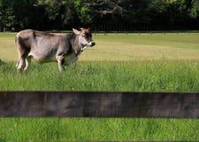 Gado; boi; um sobrenome; moggy; MOO-vaca foto de stock royalty free