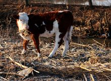 Gado; boi; um sobrenome; moggy; MOO-vaca imagem de stock royalty free