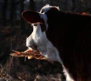 Gado; boi; um sobrenome; moggy; MOO-vaca fotos de stock