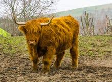 Gado das montanhas de Brown, animal de exploração agrícola domesticado popular, vaca escocesa imagens de stock royalty free