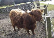Gado das montanhas ou raça de gado escocesa Imagens de Stock Royalty Free