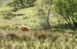Gado das montanhas que reside no campo, Escócia foto de stock royalty free
