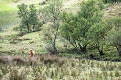 Gado das montanhas que reside no campo, Escócia foto de stock