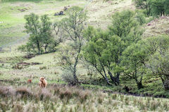 Gado das montanhas que reside no campo, Escócia imagens de stock