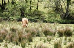Gado das montanhas que reside no campo, Escócia fotografia de stock