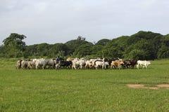 Gado de Afrikan entre as palmas verdes Imagens de Stock Royalty Free