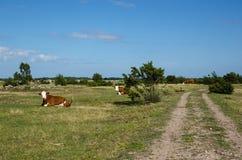 Gado de descanso por uma estrada de terra Imagem de Stock Royalty Free