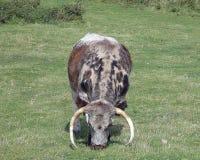 Gado de Ingleses Longhorn imagens de stock
