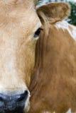 Gado de Texas Longhorn Fotografia de Stock Royalty Free