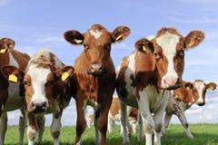 Gado de vacas novas fotografia de stock royalty free