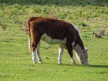 gado doméstico da vaca fotografia de stock royalty free