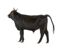 Gado dos pedaços - auroch Foto de Stock