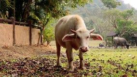 Gado e vitela novos no prado vídeos de arquivo