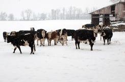 Gado em um dia nevado. Imagens de Stock Royalty Free
