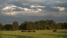 Gado em um pasto verde com céus tormentosos Imagem de Stock